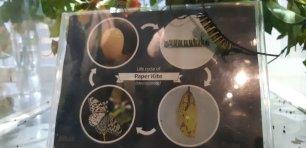 Cycle de vie d'un autre papillon