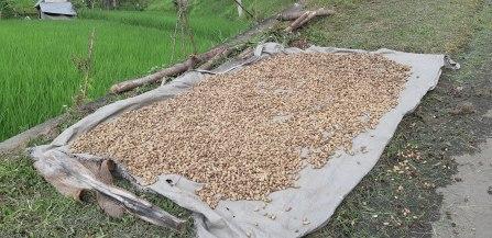 Cacahuètes qui sèchent