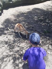 je donne à manger aux kangourous